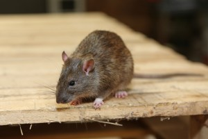 Rodent Control, Pest Control in Eltham, Mottingham, SE9. Call Now 020 8166 9746
