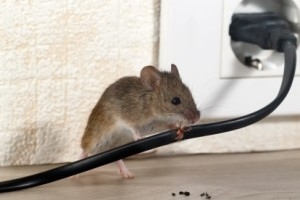 Mice Control, Pest Control in Eltham, Mottingham, SE9. Call Now 020 8166 9746